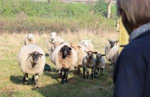 Die Herde vertraut ihrem Schäfer blind. Wenn er sich in Bewegung setzt, folgt sie ihm. Foto: Dorothée Schenk