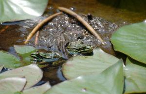 Regnerisches Wetter, Bodentemperaturen von mehr als 5 Grad Celsius und einsetzende Dämmerung lösen das Wanderverhalten der Amphibien aus. Foto: Kreis Düren