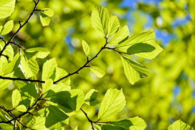 Von der natürlichen Photosynthese für die Energiegewinnung lernen, dieses Thema beschäftigt Forscher seit den 1970er Jahren. Foto: pixabay